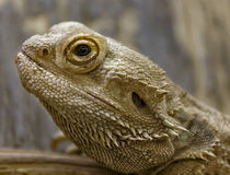 Central bearded dragon Stock Photography