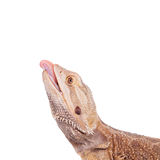 Central Bearded Dragon chasing a cricket on white Royalty Free Stock Images