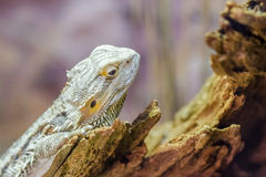 Central Bearded Dragon Royalty Free Stock Photos