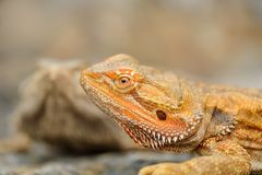 Central bearded dragon detail. Oragne dragon on stone Stock Images