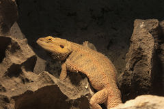 Central bearded dragon Royalty Free Stock Images