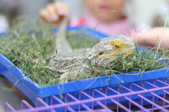 Central bearded dragon Stock Images