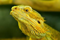 Central bearded dragon Pagona vitticeps. Closeup of head of Central bearded dragon Pagona vitticeps stock image