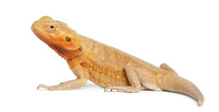 Central Bearded Dragon, Pogona vitticeps Stock Photography