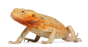 Central Bearded Dragon, Pogona vitticeps Stock Photos