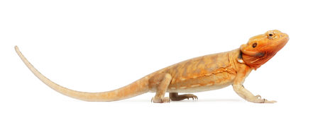 Central Bearded Dragon, Pogona vitticeps Stock Images