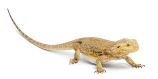 Central Bearded Dragon, Pogona vitticeps Royalty Free Stock Images