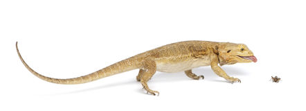 Central Bearded Dragon, Pogona vitticeps Royalty Free Stock Photo