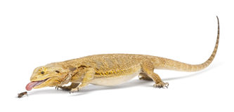 Central Bearded Dragon, Pogona vitticeps Stock Image