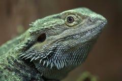 Central bearded dragon Pogona vitticeps Royalty Free Stock Photos