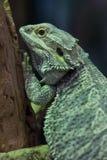 Central bearded dragon Pogona vitticeps Royalty Free Stock Photo