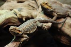 Central bearded dragon (Pogona vitticeps). Royalty Free Stock Image