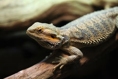 Central bearded dragon (Pogona vitticeps). Royalty Free Stock Photography
