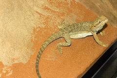 Central bearded dragon (Pogona vitticeps), Australia Stock Photo