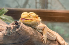 Central Bearded Dragon (Pogona vitticeps). Stock Images