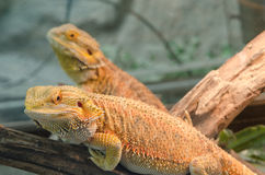 Central Bearded Dragon (Pogona vitticeps). Stock Photos