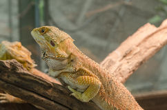 Central Bearded Dragon (Pogona vitticeps). Stock Photography