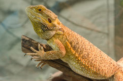 Central Bearded Dragon (Pogona vitticeps). Royalty Free Stock Photo