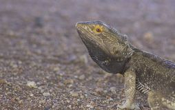 Central bearded dragon Pogona vitticeps on red gravel. Central bearded dragon facing into red gravel with copy space stock images