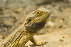 A central bearded dragon on a rock close-up Stock Photos