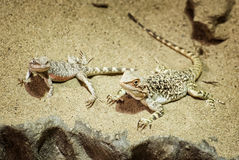 Central bearded dragon in the sand Stock Photos