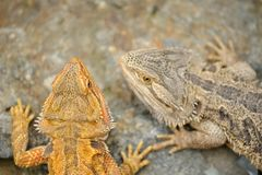 Central bearded dragon from top. Two lizard animals. Stock Photo