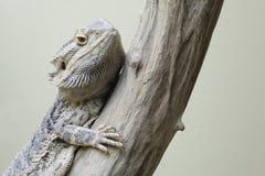 Central bearded dragon Stock Photos