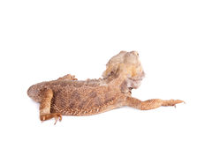 Central Bearded Dragon on white background Stock Image