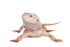 Central Bearded Dragon on white background Stock Images