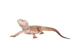 Central Bearded Dragon on white background Royalty Free Stock Images