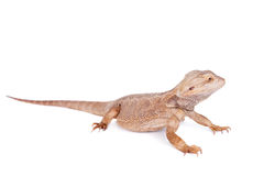 Central Bearded Dragon on white background Royalty Free Stock Photos