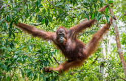 Central Bornean orangutan  ( Pongo pygmaeus wurmbii ) in natural habitat. Stock Photos