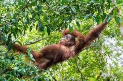 Central Bornean orangutan  ( Pongo pygmaeus wurmbii ) in natural habitat. Stock Photos