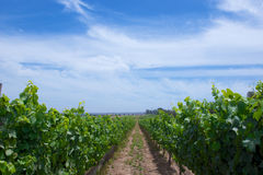 Central California Grape Vineyard Stock Photo