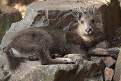 Central Chinese goral (Nemorhaedus caudatus arnouxianus). Stock Photo