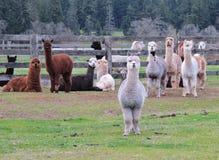 Central da alpaca Fotografia de Stock