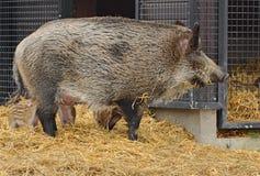 Central European wild boar Sus scrofa piglets suckling. In Helsinki Royalty Free Stock Image