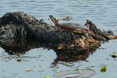 Central landsdel målad sköldpadda Arkivfoto