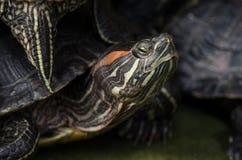 Central landsdel målad sköldpadda arkivbilder