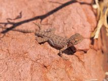 Central Netted Dragon, Ctenophorus nuchalis at Trephina Gorge, east MacDonnell ranges. Near Alice Springs, Northern Territory, Australia 2017 Stock Photography