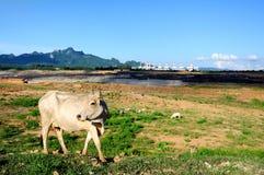 Central nuclear da vaca Fotografia de Stock