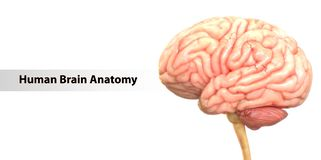 Central Organ of the Human Nervous System Brain Anatomy. 3D Illustration of Central Organ of the Human Nervous System Brain Anatomy royalty free illustration
