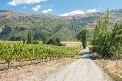 Central Otago vingård Royaltyfri Fotografi