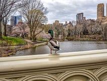 Central Park, πόλη της Νέας Υόρκης την άνοιξη στοκ εικόνες με δικαίωμα ελεύθερης χρήσης