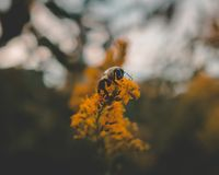 Central Park Bee on a Flower. Close up foto of a bee perched on a flower in Central Park Royalty Free Stock Photos