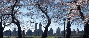 Central Park Cherry Blossoms New York. Jogger runs under the cherry blossoms in Central Park, New York city. The upper West side of Manhattan and Eldorado Royalty Free Stock Photo