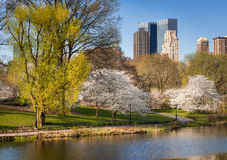 Central Park i vår som blommar Yoshino Cherry Trees, New York Arkivbild
