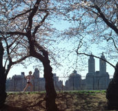 Central Park Jogger New York City USA. Jogger in Central Park, Manhattan, under spring cherry blossoms stock image