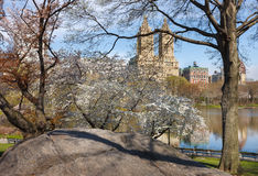 Central Park Lake with Yoshino Cherry Trees in Spring, NYC. Rock formation and blooming Yoshino Cherry Trees in spring next to The Lake in Central Park, Upper Stock Images