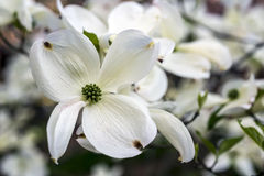 Central Park, New York City dogwood flowers Royalty Free Stock Photo